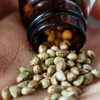 Tot ce trebuie sa stii despre semintele de cannabis